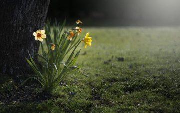 daffodils-455359_1280